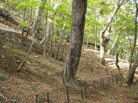 写真:林床植生がなくなってしまったブナ林