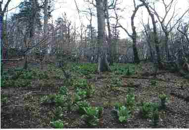 写真:下草がまばらにしかないブナ林の林床の風景