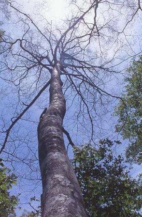 写真:葉をブナハバチに食べつくされて丸坊主になったブナ