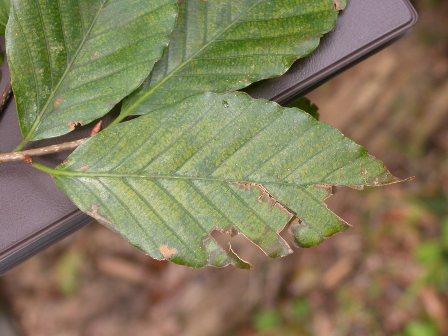 写真:黄色の斑点がでたブナの葉
