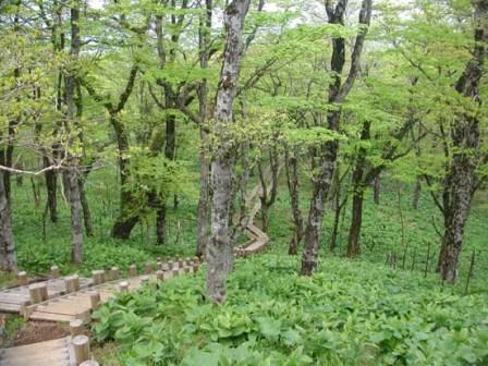 写真:登山道に設置した木道