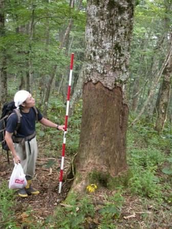 写真:シカに樹皮を食べられたために枯れてしまったウラジロモミの幹