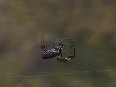 ジョロウグモの画像 p1_5