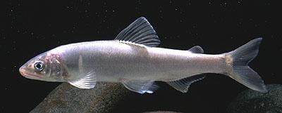 アユ若魚の写真です