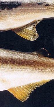 雄と雌で、尾びれの形が異なります