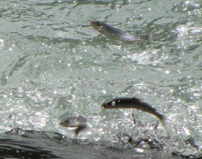 元気に魚道をそ上するアユ