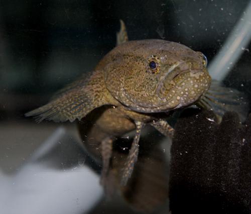 カワアナゴの顔