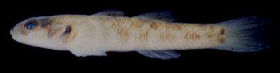 石垣島で採集されたキバラヨシノボリの稚魚