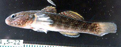 ヌマチチブ 幼魚