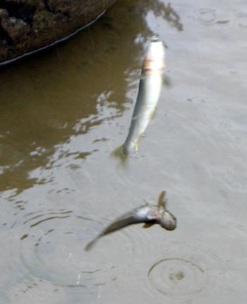 アユの友釣りで釣れた ボウズハゼ