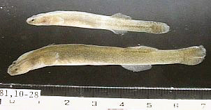ミミズハゼ稚魚