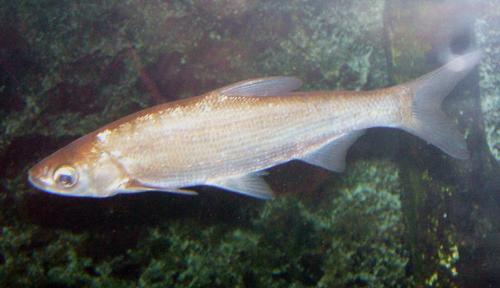 ワタカ成魚