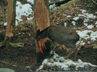シカによるウラジロモミの樹皮食い