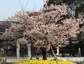 フラワーセンター桜